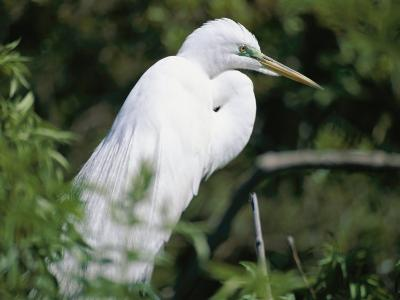 A Snowy Egret at a Rookery Connected to the Saint Augustine Alligator Farm-Stephen St^ John-Photographic Print