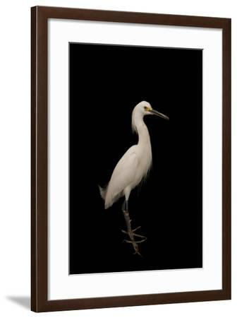 A Snowy Egret, Egretta Thula, at the Lincoln Children's Zoo-Joel Sartore-Framed Photographic Print