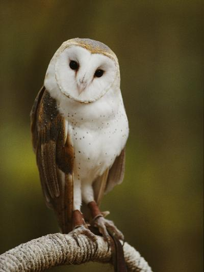 A Snowy-Faced Barn Owl is One of the Wildlife Exhibits at the Nature Station-Raymond Gehman-Photographic Print