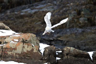 A Snowy Owl, Bubo Scandiacus, Flies over the Maine Coastline with a Meal in its Talons-Robbie George-Photographic Print