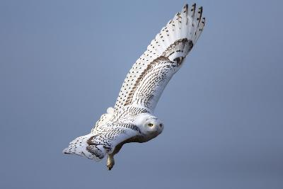 A Snowy Owl, Bubo Scandiacus, Flies over the Wintry Coast of Maine-Robbie George-Photographic Print