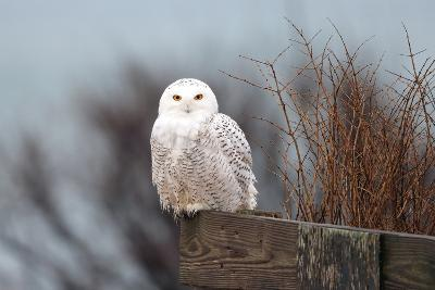 A Snowy Owl, Bubo Scandiacus, Perches on a Fence and Scans the Winter Landscape-Robbie George-Photographic Print