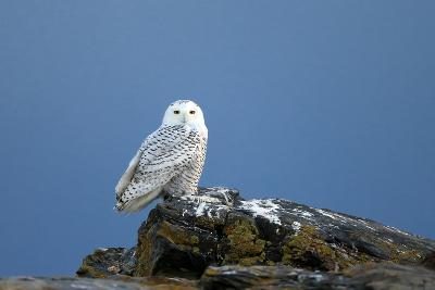 A Snowy Owl, Bubo Scandiacus, Perches on a Rock and Scans the Winter Landscape-Robbie George-Photographic Print