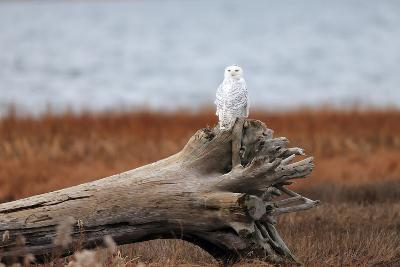 A Snowy Owl, Bubo Scandiacus, Perches on a Tree Stump on the Coast of Maine-Robbie George-Photographic Print