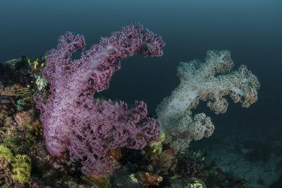 A Soft Coral Colony Grows on a Reef Slope in Indonesia-Stocktrek Images-Photographic Print