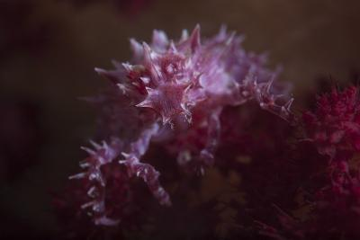 A Soft Coral Crab Blends into its Host Coral Colony-Stocktrek Images-Photographic Print