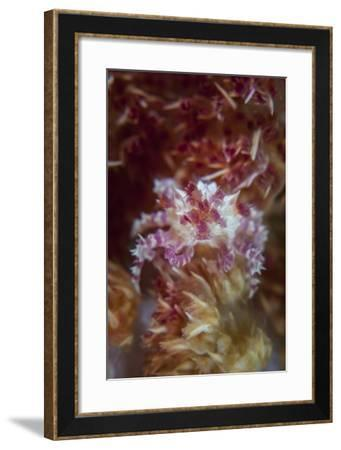 A Soft Coral Crab Clings to its Host Soft Coral on a Reef-Stocktrek Images-Framed Photographic Print