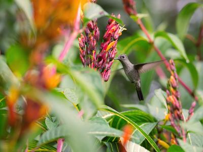 A Sombre Hummingbird, Aphantochroa Cirrochloris, Mid Flight Feeding from a Flower-Alex Saberi-Photographic Print
