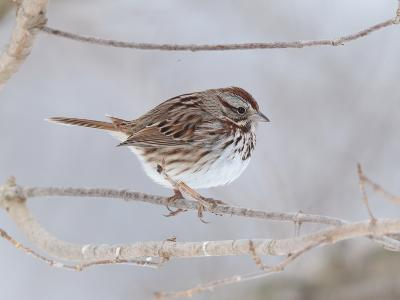 A Song Sparrow, Melospiza Melodia, Perched on a Tree Branch-George Grall-Photographic Print