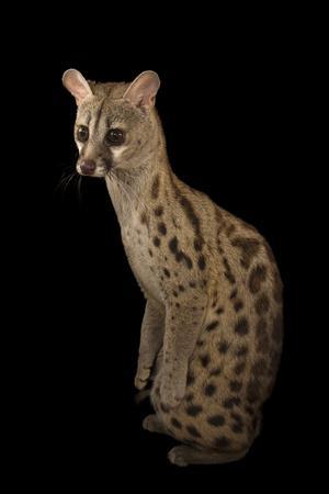 https://imgc.artprintimages.com/img/print/a-south-african-large-spotted-genet-genetta-tigrina-at-the-cincinnati-zoo_u-l-po8d8e0.jpg?p=0