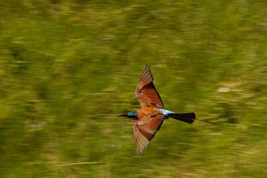 A Southern Carmine Bee-Eater, Merops Nubicoides, in Flight-Beverly Joubert-Photographic Print