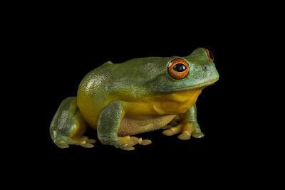 A Southern Orange-Eyed Tree Frog, Litoria Chloris, at the Wild Life Sydney Zoo-Joel Sartore-Photographic Print