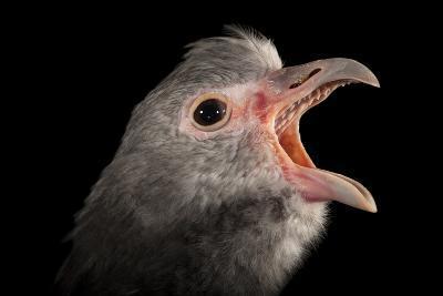 A Southern Screamer, Chauna Torquata, at the Kansas City Zoo-Joel Sartore-Photographic Print