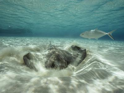 A Southern Sting Ray Burrowing into Sand as a Fish Swims Nearby-Bill Curtsinger-Photographic Print