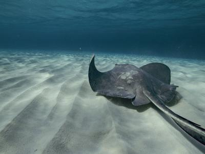 A Southern Stingray Swims Near the Ocean Bed-Bill Curtsinger-Photographic Print