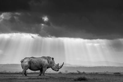 https://imgc.artprintimages.com/img/print/a-southern-white-rhino-is-bathed-in-rays-of-evening-light-as-clouds-cloak-the-sinking-sun_u-l-q1dcxn20.jpg?p=0