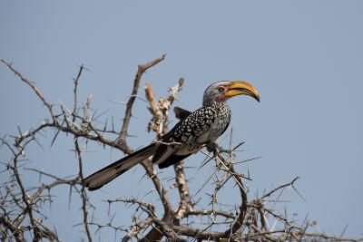 A Southern Yellow-Billed Hornbill, Tockus Leucomelas, Perching in a Thorny Tree-Alex Saberi-Photographic Print