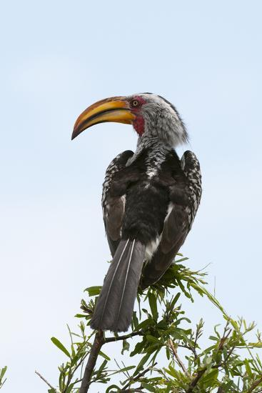 A Southern Yellow-Billed Hornbill, Tockus Leucomelas, Perching on a Branch-Sergio Pitamitz-Photographic Print