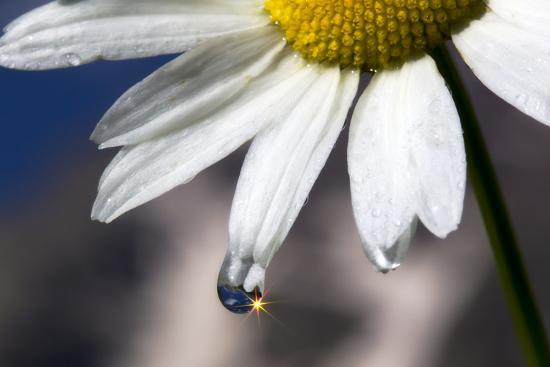 A Sparkle in a Drop of Water on a Daisy Petal-Robbie George-Photographic Print