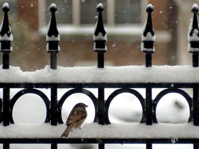 A Sparrow Surveys its Surroundings as It Stops to Rest on a Snow-Covered Fence--Photographic Print