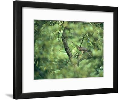 A Sparrowhawk Perches in a Tree, Accipiter Nisus-Klaus Nigge-Framed Photographic Print