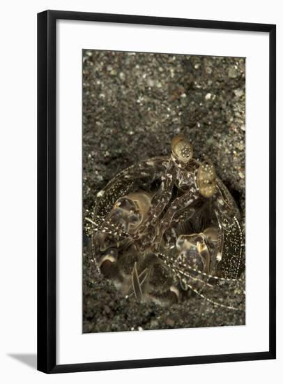 A Spearing Mantis Shrimp in its Burrow, Indonesia-Stocktrek Images-Framed Photographic Print