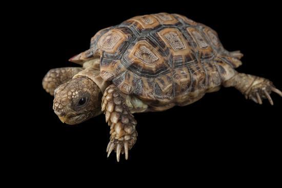 A Speckled Cape Tortoise, Homopus Signatus Signatus, at the Omaha Zoo-Joel Sartore-Photographic Print