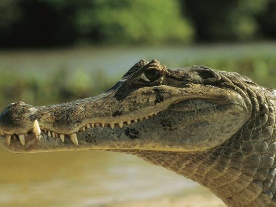 A Spectacled Caiman in Venezuela-Ed George-Photographic Print