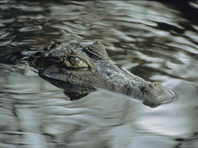 A Spectacled Caiman Swims Through a Stream in Venezuela-Ed George-Photographic Print
