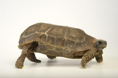 A Speke's Hinge-Back Tortoise at the National Mississippi River Museum and Aquarium-Joel Sartore-Photographic Print