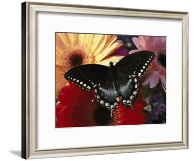 A Spicebush Swallowtail Butterfly Resting on Colorful Gerbera Daisies-Darlyne A. Murawski-Framed Photographic Print