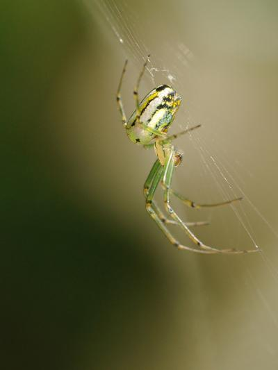 A Spider in its Silk Orb Web-Darlyne A^ Murawski-Photographic Print