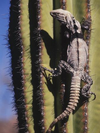 A Spiny-Tailed Iguana Climbing a Cardon Cactus-Ralph Lee Hopkins-Photographic Print