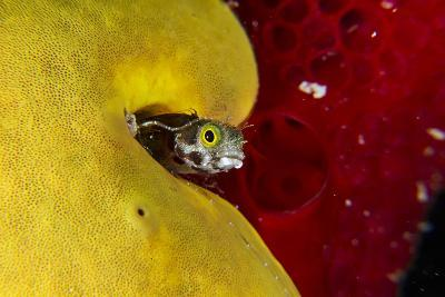 A Spinyhead Blenny Peers from the Safety of its Burrow in a Yellow Sponge-David Doubilet-Photographic Print