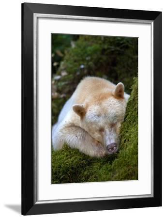 A Spirit or Kermode Bear Asleep on a Bed of Moss-Jed Weingarten-Framed Photographic Print