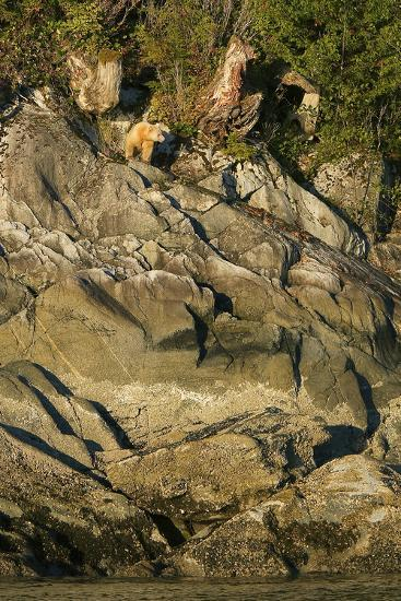 A Spirit or Kermode Bear on Rocks Above the Inter-Tidal Zone-Jed Weingarten-Photographic Print
