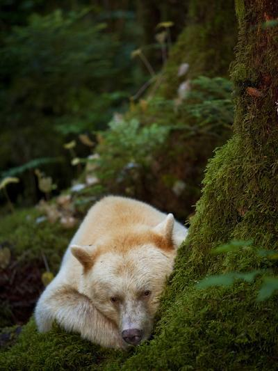 A Spirit or Kermode Bear, Resting on a Bed of Moss-Jed Weingarten/National Geographic My Shot-Photographic Print