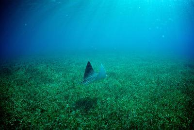 A Spotted Eagle Ray, Aetobatus Narinari, Swimming over a Bed of Eel Grass-Heather Perry-Photographic Print