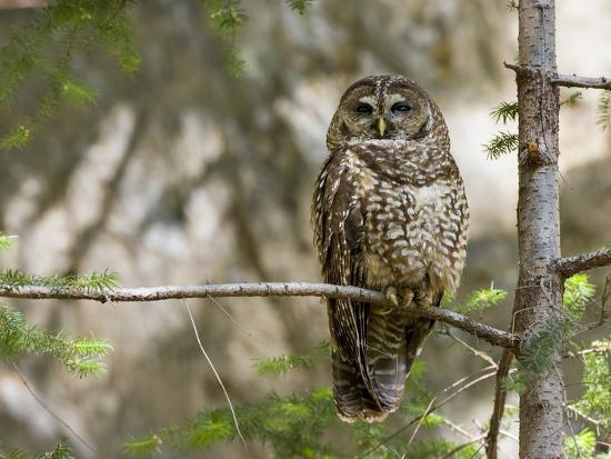 A Spotted Owl (Strix Occidentalis) in Los Angeles County, California.-Neil Losin-Photographic Print