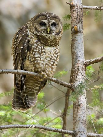 https://imgc.artprintimages.com/img/print/a-spotted-owl-strix-occidentalis-in-los-angeles-county-california_u-l-q10t4y50.jpg?p=0