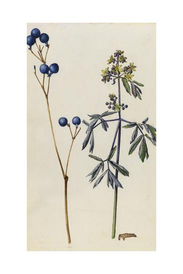 A Sprig of Blue Cohosh Plant Berries and Blossoms-Mary E. Eaton-Giclee Print