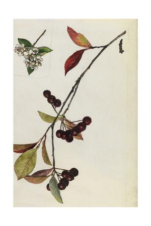https://imgc.artprintimages.com/img/print/a-sprig-of-red-chokeberry-blossoms-and-berries_u-l-pojlvm0.jpg?p=0