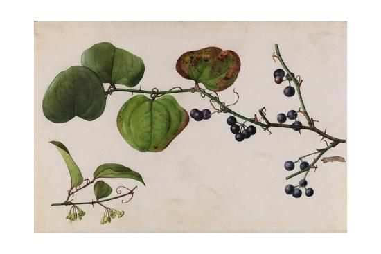 A Sprig of Roundleaf Greenbrier Shrub Blossoms and Berries-Mary E. Eaton-Giclee Print