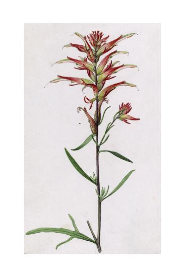 A Sprig of Wyoming Indian Paintbrush-Mary E. Eaton-Giclee Print