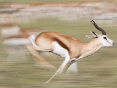 A Springbok, Antidorcas Marsupialis, Running Past a Herd-Roy Toft-Photographic Print