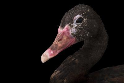 A Spur-Winged Goose, Plectropterus Gambensis, at the Cleveland Metroparks Zoo-Joel Sartore-Photographic Print