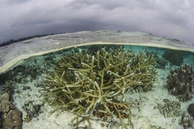 A Staghorn Coral Colony Grows in Shallow Water in the Solomon Islands-Stocktrek Images-Photographic Print