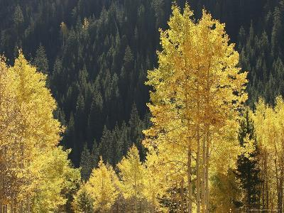 A Stand of Autumn Colored Aspen Trees Intermingled with Evergreens-Charles Kogod-Photographic Print