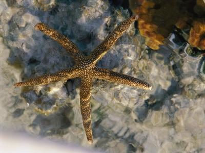 A Starfish in a Tide Pool on Australias Great Barrier Reef-Nicole Duplaix-Photographic Print