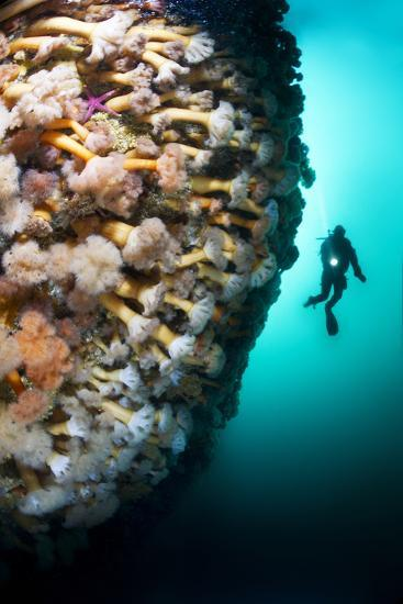 A Steep Fjord Wall Densely Covered with Anemones in Bonne Bay-David Doubilet-Photographic Print